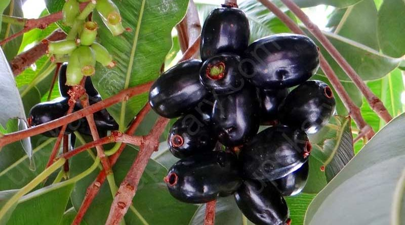 kalo jaam (black berry)