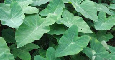 arum spinach