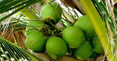 green coconut on the tree