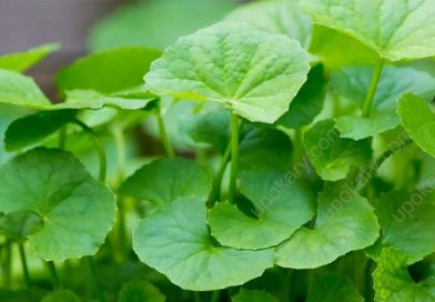 indian pennywort