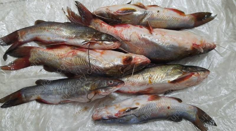 tangra fish