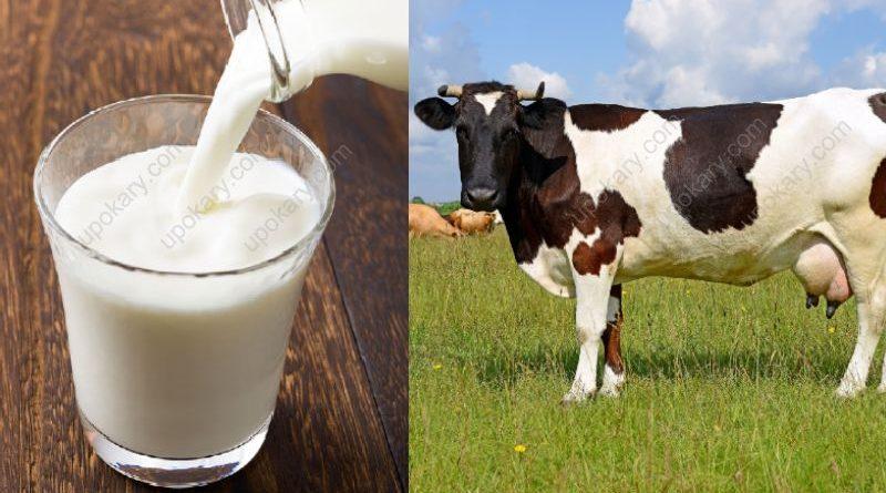 milk of cow