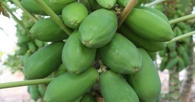 greenpapaya