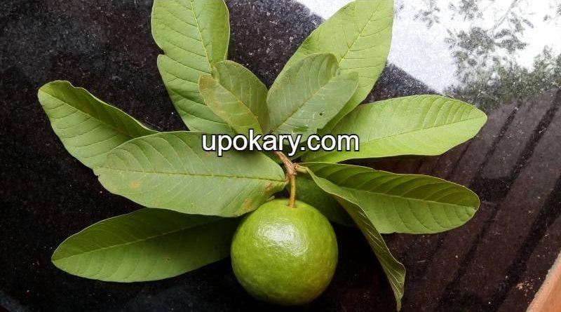 guava leaf