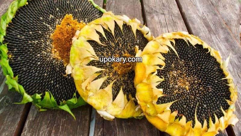 three sunflower