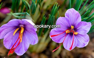Saffron bloom