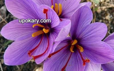 saffron blue flower