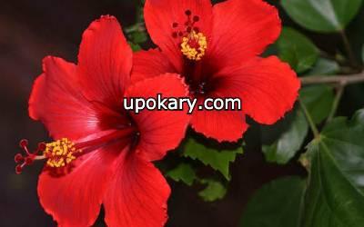 botanical hibiscus