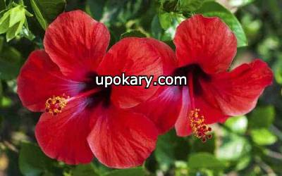 hibisco red